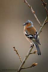 Singing in the wind (ABPhotosUK) Tags: birds animals canon wildlife devon finches nocrop dartmoor fringillacoelebs chaffinch eos7dmarkii smeardondown ef100400mmisii