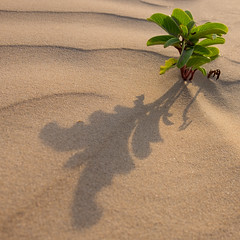 Small plant Shadow at sunset square crop (--Welby--) Tags: sunset shadow plant beach coast sand australia wa kimberley westernaustralia sanddunes broome cablebeach sandune