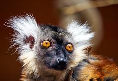 nutty prof style (Danyel B. Photography) Tags: wild nature animal outside monkey close minolta sony details natur sharp lemur ape nah 70 f4 a7 tier affe 210 lemure