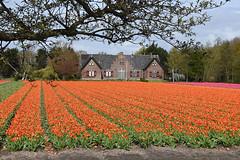 Wassergeest (cklx) Tags: red holland yellow spring tulips may tulip april brightcolors tulpen noordwijkerhout tulp lisse 2016 bollenstreek hillegom wassergeest