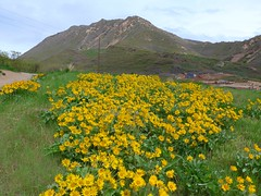 Flowers at the foothills of Wasatch mountain range (ali eminov) Tags: flowers mountains landscapes utah scenery cities saltlakecity wasatchmountains