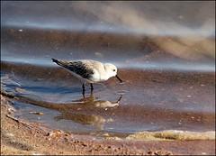 Sanderling wading (catb -) Tags: bird portugal calidris algarve tavira sanderling wader calidrisalba