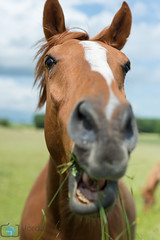 Happy eating (grimaux.jordan) Tags: horse brown white smile grass smiling mouth nose eyes eating ears equestrian muzzle fulfilled