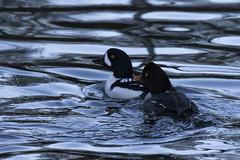 Ducks-1 (matthew.snyder54) Tags: winter river baldeagle eagles northcascades skagitriver