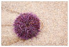 Sea urchin (mhocter) Tags: ocean california beach canon eos purple pacific malibu pacificocean canoneos ef seaurchin leocarillo losangelescounty leocarillobeach canonef leocarillostatepark ef247028l canonef247028l canoneos5dmarkii 5dmarkii 5d2 canon5dmarkii