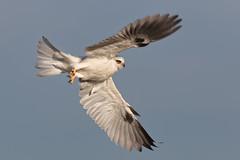 Heading East! (bmse) Tags: california county orange kite takeoff whitetailed salah wingsinmotion bmse baazizi canon7d2400mmf56l