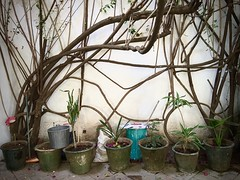 Tangle (-jamesstave-) Tags: street plant planta wall mexico pared calle branches vine oaxaca entwined entangled ramas vid enredado entrelazado iphone5s