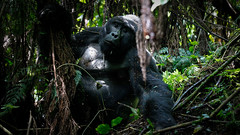Charging silverback (Lil [Kristen Elsby]) Tags: africa travel nationalpark gorilla wildlife topv1111 ape uganda primate gorillas silverback silverbackgorilla travelphotography bwindi mountaingorilla centralafrica canon70200f28l bwindiimpenetrablenationalpark canon5dmarkii bikingi bikingigroup bikingifamily
