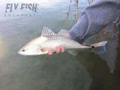 IMG_2312 (FirstCastFly) Tags: texas flyfishing redfish rockport rockporttexas reddrum rockporttx redfishonfly redfishonthefly flyfishingjunkie flyfishrockport flyfishrockportcom