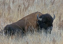 American Bison (Bison bison) (Ron Wolf) Tags: nature animal mammal buffalo colorado wildlife explore plains bovidae americanbison bisonbison artiodactyla rockymountainarsenalnwr