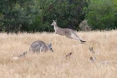 Eastern Gray Kangaroo (Piedmont Fossil) Tags: wildlife australia kangaroo marsupial sanctuary serendip
