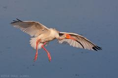 Final Approach (Doug Scobel) Tags: white ibis eudocimus albus circlebbar
