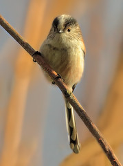 Long Tailed Tit (Nickerzzzzz - Thanks for stopping by :)) Tags: bird nature photography wings branch wildlife flock feathers avian longtailedtit aegithaloscaudatus rspb nickudy