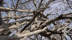 P1020901_e2 (Mizzick) Tags: old travel summer vacation holiday tree history asia branches roots srilanka banyan majesty banyantree