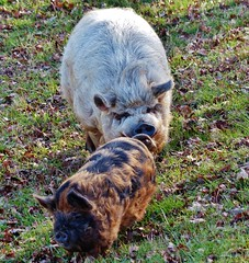 Zwei ausgebxte Hausschweine spazieren den Deich entlang (Mdlich), NGID1026339171 (naturgucker.de) Tags: hausschwein naturguckerde cirenefreese 915119198 92636685 1037328381 susscrofasubspdomestica ngid1026339171