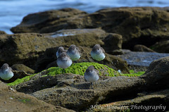 "Sanderlings at ""The Rocks"" (Mike Woodfin) Tags: park seaweed beach birds photoshop photography photo cool rocks pretty photos awesome flock beak picture palm photograph neat therocks augustine marineland matanzas sanderlings mikewoodfin mikewoodfinphotography coasta1acoastalcoastgreensurfbreakersfowlatlanticoceanseahdrtonemaptonemappingnatureflagler countyflaglerst"