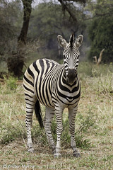 (Common) Burchell's Zebra (Equus quagga burchelli) (KristenMartyn) Tags: africa travel animal southafrica mammal outdoors tour outdoor wildlife birding zebra mammals birdwatching swaziland lesotho southernafrica burchellszebra commonzebra equusquaggaburchelli