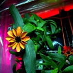 First Flower Grown in Space Station's Veggie Facility thumbnail