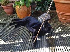 Cat Playtime (Jainbow) Tags: plant black home cat garden play pots stick decking jainbow