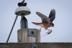 Succesfull Hunt (sdl39hogger) Tags: wisconsin raptor falcon birdsofprey americankestrel nationalgeographic falcosparverius wildlifenorthamerica reeseville nationalwildlifefederation reesevillemarsh photoofthedaynwf16