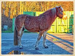 Sarah (gill4kleuren - 11 ml views) Tags: life horse sun me sarah fun outside happy running saar paard haflinger