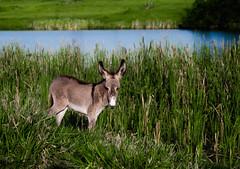 (Jos Mauricio Garijo) Tags: rural burro jumento muar borebisp estnciaboavista