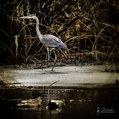 GBH-1 (Jeremie Doucette) Tags: bird plymouth greatblueheron gbh jennygristmill jennypond