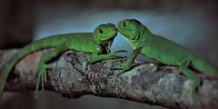 Green Lizards - Guadeloupe, Caribbean (anneklitsch) Tags: two green animal closeup zoo pair paar depthoffield lizard tropical caribbean grn tierpark zwei nahaufnahme tier eidechse karibik tropen tropisch tiefenschrfe