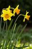 Daffodils (raghnallg (218,000+ views).) Tags: flowers yellow daffodils narcissus 2015