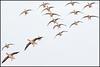 Red Leader to no. 8. You're out of position! (John R Chandler) Tags: uk bird inflight unitedkingdom goose coventry westmidlands warwickshire anseranser wildfowl greylaggoose brandonmarsh warwickshirewildlifetrust