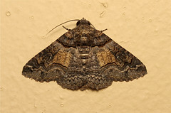 Pericyma atrifusa (Lined Shades) - South Africa (Nick Dean1) Tags: insect southafrica moth insects lepidoptera arthropods arthropoda krugernationalpark satara arthropod hexapod insecta hexapods hexapoda linedshades pericymaatrifusa