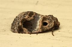 Acontia melaphora - South Africa (Nick Dean1) Tags: insect southafrica insects lepidoptera noctuidae arthropods animalia arthropoda krugernationalpark arthropod hexapod insecta hexapods hexapoda acontia acontiamelaphora