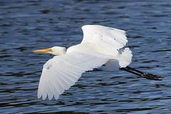 Eastern Great Egret in flight (WA47) Tags: australia ardea birdsinflight westernaustralia ardeidae ciconiiformes bibralake beeliarregionalpark ardeamodesta easterngreategret