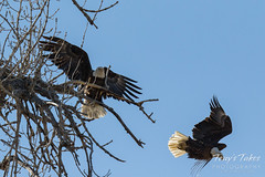 Bald Eagles copulating sequence - 24 of 28