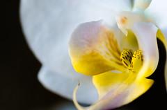 White orchid (Frank Lammel) Tags: macro blumen 2016
