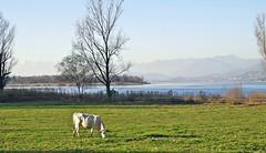 GALLIATE LOMBARDO - (Varese) (cannuccia) Tags: landscape 1001nights inverno paesaggi lombardia animali mucche panorami prati laghi 100commentgroup galliatelombardo 1001nightsmagiccity virgiliocompany