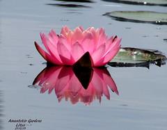 Lotus (tinica50) Tags: macro nature brasil lotus flowerwatcher