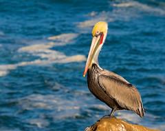 8S0A2673.jpg (VABrowne) Tags: ca brown lajolla pelican sandiegoriver