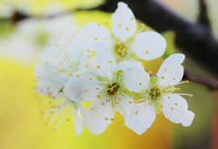 IMG_7577 (fumei_lin) Tags: flowers fruittree plumblossoms