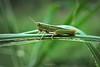 Verde sobre verde (Diego Serra) Tags: verde pasto grasshopper insecto saltamontes tucura