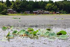 (Yorozuna / ) Tags: plant leaves japan leaf pond lotus  niigata       aquaticplant kashiwazaki waterweed  nelumbonucifera