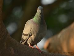 The stare (kaizen.deepakumd) Tags: bird birds pigeon stare