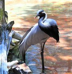 Beautiful Demoiselle Crane (natural wonders photography) Tags: buschgardenstampa demoisellecrane dappledsunlight beautifulbird naturalwondersphotography