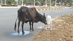 Streets of Kep (rodeochiangmai) Tags: cambodia cattle bovine