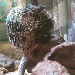 #dczoo #washingtondczoo #zoo #rodent #quills (rleahey14) Tags: zoo rodent quills dczoo washingtondczoo
