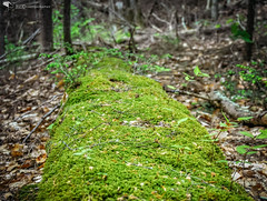 Roll Out the Mossy Carpet For Me (REA // Photography) Tags: forest carpet moss spring woods connecticut newengland forestfloor mossy