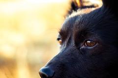 (Jon.the.canadian) Tags: winter portrait cute dogs nature animal closeup outdoors eyes schipperke whoa awe