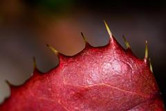 72/366 2016 - Spiky! (fishyfish_arcade) Tags: red macro spiky leaf nikon spikes d3200 macromondays sigma105mmf28exdgoshsmmacro