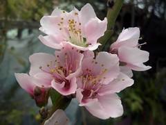 Flor de Durazno (mayavilla) Tags: pink flowers flor jardin rosita florecitas durazno