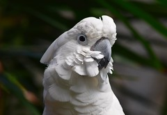 Bloedel Conservatory, Vancouver (careth@2012) Tags: portrait nature wildlife conservatory cockatoo bloedel bloedelconservatory